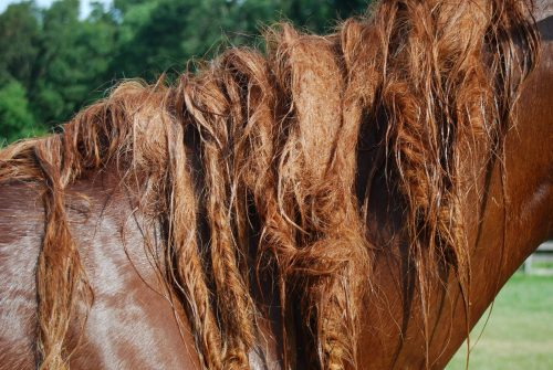 BEFORE mane & tail Mane-ly de-tangler is applied